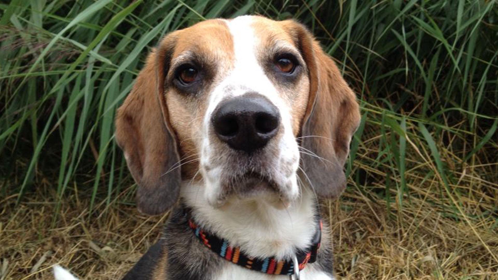 Lenny Beagle