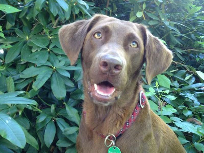 Macy Labrador Stadthund