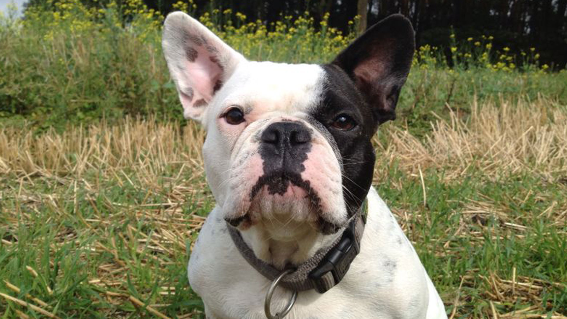 Französische Bulldogge Olga