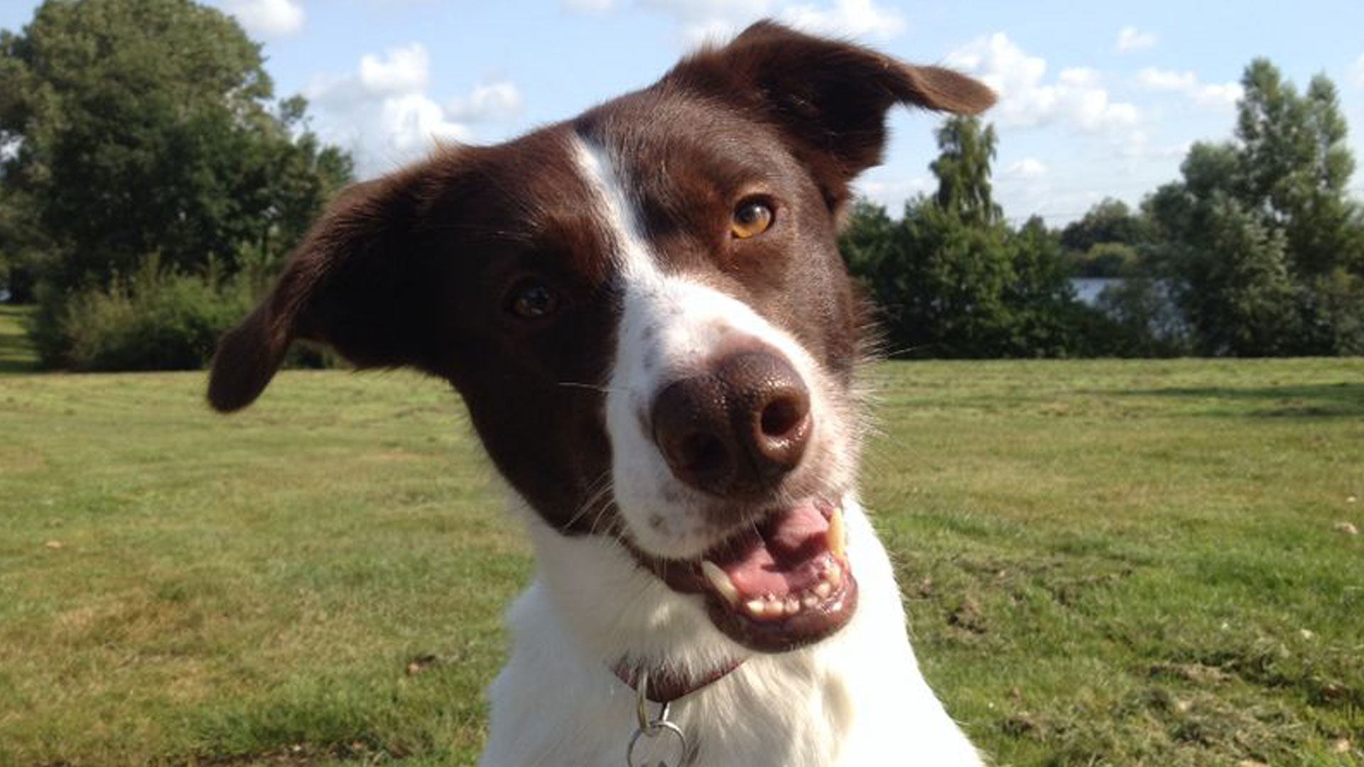 Lilly Border Collie Mix